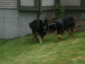 German Shepherd and Rottweiller