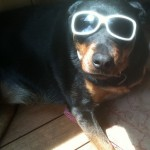 Rottweiler with glasses