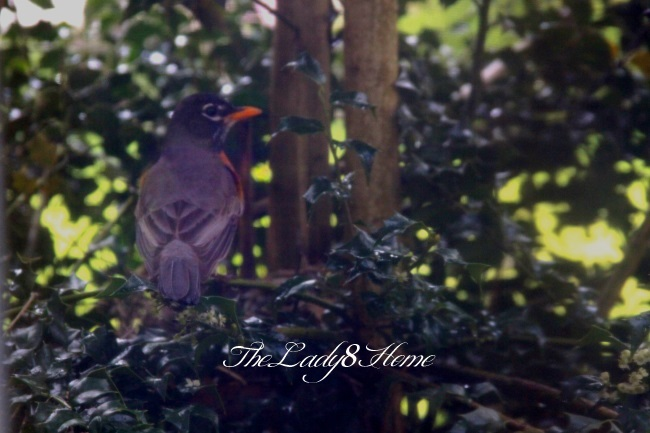 A Robin by the nest