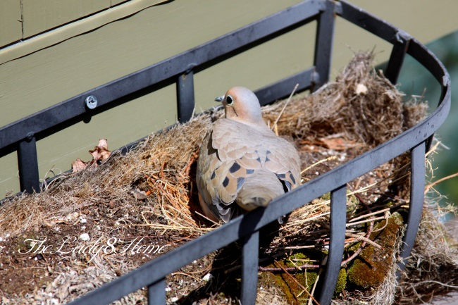 incubating Mourning dove